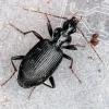 Paprastasis juodžygis - Platynus assimilis | Fotografijos autorius : Algirdas Vilkas | © Macrogamta.lt | Šis tinklapis priklauso bendruomenei kuri domisi makro fotografija ir fotografuoja gyvąjį makro pasaulį.