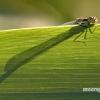 Coenagrionidae - Strėliukė | Fotografijos autorius : Alma Totorytė | © Macrogamta.lt | Šis tinklapis priklauso bendruomenei kuri domisi makro fotografija ir fotografuoja gyvąjį makro pasaulį.