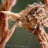Araneus diadematus - Paprastasis kryžiuotis | Fotografijos autorius : Alma Totorytė | © Macrogamta.lt | Šis tinklapis priklauso bendruomenei kuri domisi makro fotografija ir fotografuoja gyvąjį makro pasaulį.