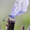 Leptidea sinapis / juvernica agg. – Garstytė | Fotografijos autorius : Alma Totorytė | © Macrogamta.lt | Šis tinklapis priklauso bendruomenei kuri domisi makro fotografija ir fotografuoja gyvąjį makro pasaulį.