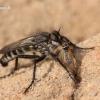 Lasiopogon cinctus - Plėšriamusė | Fotografijos autorius : Lukas Jonaitis | © Macrogamta.lt | Šis tinklapis priklauso bendruomenei kuri domisi makro fotografija ir fotografuoja gyvąjį makro pasaulį.