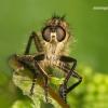 Asilidae - Plėšriamusė | Fotografijos autorius : Lukas Jonaitis | © Macrogamta.lt | Šis tinklapis priklauso bendruomenei kuri domisi makro fotografija ir fotografuoja gyvąjį makro pasaulį.