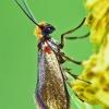Micropterix calthella - Purieninė kandis | Fotografijos autorius : Lukas Jonaitis | © Macrogamta.lt | Šis tinklapis priklauso bendruomenei kuri domisi makro fotografija ir fotografuoja gyvąjį makro pasaulį.