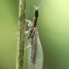 Raphidia sp. - Kupriukas | Fotografijos autorius : Lukas Jonaitis | © Macrogamta.lt | Šis tinklapis priklauso bendruomenei kuri domisi makro fotografija ir fotografuoja gyvąjį makro pasaulį.