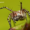 Oxyopes ramosus - Raštuotasis lūšiavoris | Fotografijos autorius : Lukas Jonaitis | © Macrogamta.lt | Šis tinklapis priklauso bendruomenei kuri domisi makro fotografija ir fotografuoja gyvąjį makro pasaulį.