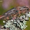 Chalcophora mariana - Didysis blizgiavabalis | Fotografijos autorius : Lukas Jonaitis | © Macrogamta.lt | Šis tinklapis priklauso bendruomenei kuri domisi makro fotografija ir fotografuoja gyvąjį makro pasaulį.