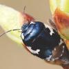 Tritomegas bicolor - Baltadėmė urvablakė | Fotografijos autorius : Arūnas Eismantas | © Macrogamta.lt | Šis tinklapis priklauso bendruomenei kuri domisi makro fotografija ir fotografuoja gyvąjį makro pasaulį.