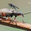 Phyllobius glaucus - Lapinukas | Fotografijos autorius : Arūnas Eismantas | © Macrogamta.lt | Šis tinklapis priklauso bendruomenei kuri domisi makro fotografija ir fotografuoja gyvąjį makro pasaulį.