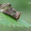 Žaliasis žvilgūnas - Diachrysia chrysitis | Fotografijos autorius : Arūnas Eismantas | © Macrogamta.lt | Šis tinklapis priklauso bendruomenei kuri domisi makro fotografija ir fotografuoja gyvąjį makro pasaulį.