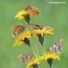 Melitaea phoebe - Didžioji šaškytė | Fotografijos autorius : Arūnas Eismantas | © Macrogamta.lt | Šis tinklapis priklauso bendruomenei kuri domisi makro fotografija ir fotografuoja gyvąjį makro pasaulį.
