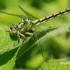Ophiogomphus cecilia - Pleištinis laumžirgis | Fotografijos autorius : Arūnas Eismantas | © Macrogamta.lt | Šis tinklapis priklauso bendruomenei kuri domisi makro fotografija ir fotografuoja gyvąjį makro pasaulį.