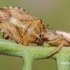Xysticus cristatus - Paprastasis krabvoris | Fotografijos autorius : Arūnas Eismantas | © Macrogamta.lt | Šis tinklapis priklauso bendruomenei kuri domisi makro fotografija ir fotografuoja gyvąjį makro pasaulį.