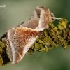 Habrosyne pyritoides - Avietinis pūkanugaris | Fotografijos autorius : Arūnas Eismantas | © Macrogamta.lt | Šis tinklapis priklauso bendruomenei kuri domisi makro fotografija ir fotografuoja gyvąjį makro pasaulį.