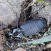 Pterostichus niger - Juodasis smiltžygis | Fotografijos autorius : Arūnas Eismantas | © Macrogamta.lt | Šis tinklapis priklauso bendruomenei kuri domisi makro fotografija ir fotografuoja gyvąjį makro pasaulį.