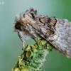 Colocasia coryli - Lazdyninis miškinukas | Fotografijos autorius : Arūnas Eismantas | © Macrogamta.lt | Šis tinklapis priklauso bendruomenei kuri domisi makro fotografija ir fotografuoja gyvąjį makro pasaulį.