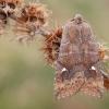 Plėšrusis vėlyvis - Eupsilia transversa | Fotografijos autorius : Arūnas Eismantas | © Macrogamta.lt | Šis tinklapis priklauso bendruomenei kuri domisi makro fotografija ir fotografuoja gyvąjį makro pasaulį.