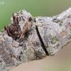 Lazdyninis miškinukas - Colocasia coryli | Fotografijos autorius : Arūnas Eismantas | © Macrogamta.lt | Šis tinklapis priklauso bendruomenei kuri domisi makro fotografija ir fotografuoja gyvąjį makro pasaulį.