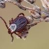 Pievinė erkė - Dermacentor reticulatus  | Fotografijos autorius : Arūnas Eismantas | © Macrogamta.lt | Šis tinklapis priklauso bendruomenei kuri domisi makro fotografija ir fotografuoja gyvąjį makro pasaulį.