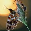 Pievinis perlinukas - Boloria selene | Fotografijos autorius : Arūnas Eismantas | © Macrogamta.lt | Šis tinklapis priklauso bendruomenei kuri domisi makro fotografija ir fotografuoja gyvąjį makro pasaulį.