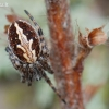 Ąžuolalapis verpstenis - Aculepeira ceropegia  | Fotografijos autorius : Arūnas Eismantas | © Macrogamta.lt | Šis tinklapis priklauso bendruomenei kuri domisi makro fotografija ir fotografuoja gyvąjį makro pasaulį.