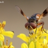 Ectophasia crassipennis - Dygliamusė | Fotografijos autorius : Arūnas Eismantas | © Macrogamta.lt | Šis tinklapis priklauso bendruomenei kuri domisi makro fotografija ir fotografuoja gyvąjį makro pasaulį.
