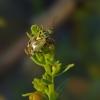 Lygus gemellatus – Žolblakė | Fotografijos autorius : Darius Baužys | © Macrogamta.lt | Šis tinklapis priklauso bendruomenei kuri domisi makro fotografija ir fotografuoja gyvąjį makro pasaulį.