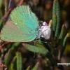 Callophrys rubi - Žalsvasis varinukas   Fotografijos autorius : Darius Baužys   © Macrogamta.lt   Šis tinklapis priklauso bendruomenei kuri domisi makro fotografija ir fotografuoja gyvąjį makro pasaulį.