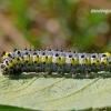 Diloba caeruleocephala - Mėlyngalvė diloba | Fotografijos autorius : Darius Baužys | © Macrogamta.lt | Šis tinklapis priklauso bendruomenei kuri domisi makro fotografija ir fotografuoja gyvąjį makro pasaulį.