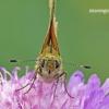 Ochlodes sylvanus - Miškinis storgalvis | Fotografijos autorius : Darius Baužys | © Macrogamta.lt | Šis tinklapis priklauso bendruomenei kuri domisi makro fotografija ir fotografuoja gyvąjį makro pasaulį.