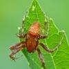 Keturdėmis kryžiuotis - Araneus quadratus, patinas   Fotografijos autorius : Darius Baužys   © Macrogamta.lt   Šis tinklapis priklauso bendruomenei kuri domisi makro fotografija ir fotografuoja gyvąjį makro pasaulį.