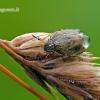 Neottiglossa pusilla - Trumpagalvė skydblakė | Fotografijos autorius : Darius Baužys | © Macrogamta.lt | Šis tinklapis priklauso bendruomenei kuri domisi makro fotografija ir fotografuoja gyvąjį makro pasaulį.