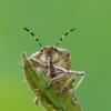 Dolycoris baccarum - Uoginė skydblakė | Fotografijos autorius : Darius Baužys | © Macrogamta.lt | Šis tinklapis priklauso bendruomenei kuri domisi makro fotografija ir fotografuoja gyvąjį makro pasaulį.