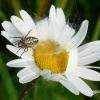 Aculepeira ceropegia - Ąžuolialapis verpstūnas | Fotografijos autorius : Vitas Stanevičius | © Macrogamta.lt | Šis tinklapis priklauso bendruomenei kuri domisi makro fotografija ir fotografuoja gyvąjį makro pasaulį.