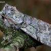 Ankstyvasis pūkanugaris - Achlya flavicornis | Fotografijos autorius : Romas Ferenca | © Macrogamta.lt | Šis tinklapis priklauso bendruomenei kuri domisi makro fotografija ir fotografuoja gyvąjį makro pasaulį.