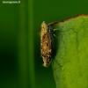 Adarrus multinotatus - Cikadelė   Fotografijos autorius : Romas Ferenca   © Macrogamta.lt   Šis tinklapis priklauso bendruomenei kuri domisi makro fotografija ir fotografuoja gyvąjį makro pasaulį.