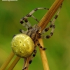 Araneus quadratus - Keturdėmis kryžiuotis   Fotografijos autorius : Romas Ferenca   © Macrogamta.lt   Šis tinklapis priklauso bendruomenei kuri domisi makro fotografija ir fotografuoja gyvąjį makro pasaulį.
