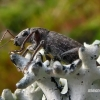 Brachyderes incanus - Pušinis trumpastraublis | Fotografijos autorius : Romas Ferenca | © Macrogamta.lt | Šis tinklapis priklauso bendruomenei kuri domisi makro fotografija ir fotografuoja gyvąjį makro pasaulį.