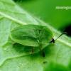 Cassida viridis - Žaliasis skydinukas | Fotografijos autorius : Romas Ferenca | © Macrogamta.lt | Šis tinklapis priklauso bendruomenei kuri domisi makro fotografija ir fotografuoja gyvąjį makro pasaulį.