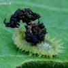 Žaliasis skydinukas - Cassida viridis, lerva | Fotografijos autorius : Romas Ferenca | © Macrogamta.lt | Šis tinklapis priklauso bendruomenei kuri domisi makro fotografija ir fotografuoja gyvąjį makro pasaulį.
