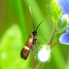 Cauchas fibulella - Mažoji ilgaūsė makštinė kandis | Fotografijos autorius : Romas Ferenca | © Macrogamta.lt | Šis tinklapis priklauso bendruomenei kuri domisi makro fotografija ir fotografuoja gyvąjį makro pasaulį.