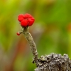 Laiboji šiurė - Cladonia macilenta   Fotografijos autorius : Romas Ferenca   © Macrogamta.lt   Šis tinklapis priklauso bendruomenei kuri domisi makro fotografija ir fotografuoja gyvąjį makro pasaulį.