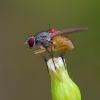 Coenosia mollicula - Tikramusė | Fotografijos autorius : Romas Ferenca | © Macrogamta.lt | Šis tinklapis priklauso bendruomenei kuri domisi makro fotografija ir fotografuoja gyvąjį makro pasaulį.