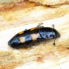 Glischrochilus quadripunctatus - Keturtaškis žvilgvabalis | Fotografijos autorius : Romas Ferenca | © Macrogamta.lt | Šis tinklapis priklauso bendruomenei kuri domisi makro fotografija ir fotografuoja gyvąjį makro pasaulį.