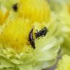 Tripsas - Haplothrips sp. | Fotografijos autorius : Romas Ferenca | © Macrogamta.lt | Šis tinklapis priklauso bendruomenei kuri domisi makro fotografija ir fotografuoja gyvąjį makro pasaulį.