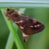 Mažasis šakniagraužis - Phymatopus (Hepialus) hecta | Fotografijos autorius : Romas Ferenca | © Macrogamta.lt | Šis tinklapis priklauso bendruomenei kuri domisi makro fotografija ir fotografuoja gyvąjį makro pasaulį.