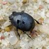 Krypūnėlis - Hypocaccus rugiceps | Fotografijos autorius : Romas Ferenca | © Macrogamta.lt | Šis tinklapis priklauso bendruomenei kuri domisi makro fotografija ir fotografuoja gyvąjį makro pasaulį.
