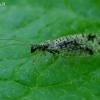 Lapasparnis - Micromus variegatus | Fotografijos autorius : Romas Ferenca | © Macrogamta.lt | Šis tinklapis priklauso bendruomenei kuri domisi makro fotografija ir fotografuoja gyvąjį makro pasaulį.