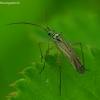 Melsvažalė žolblakė - Oncotylus viridiflavus | Fotografijos autorius : Romas Ferenca | © Macrogamta.lt | Šis tinklapis priklauso bendruomenei kuri domisi makro fotografija ir fotografuoja gyvąjį makro pasaulį.