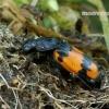 Nicrophorus vespilloides - Juodbuožis duobkasys | Fotografijos autorius : Romas Ferenca | © Macrogamta.lt | Šis tinklapis priklauso bendruomenei kuri domisi makro fotografija ir fotografuoja gyvąjį makro pasaulį.