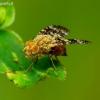 Margasparnė - Oxyna flavipennis   Fotografijos autorius : Romas Ferenca   © Macrogamta.lt   Šis tinklapis priklauso bendruomenei kuri domisi makro fotografija ir fotografuoja gyvąjį makro pasaulį.